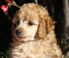 Apricot Male Toy Poodles Puppies For Sale Limbri New South Wales