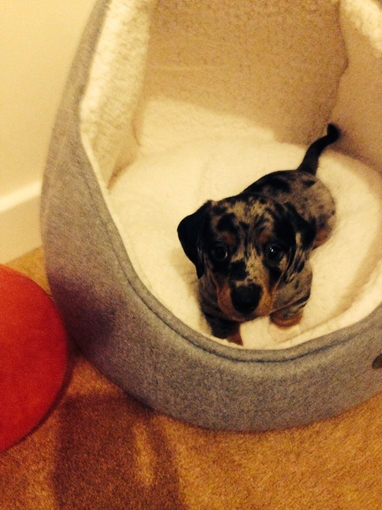 Dachshund Cross Jack Russell Puppy For Sale Cornwall Gumtree Dachshund Cross Jack Russell Puppies Puppies For Sale