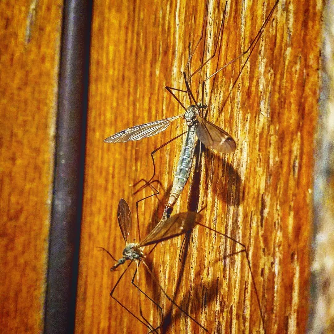 How to Get Rid of Crane Flies Quickly and Effectively ...