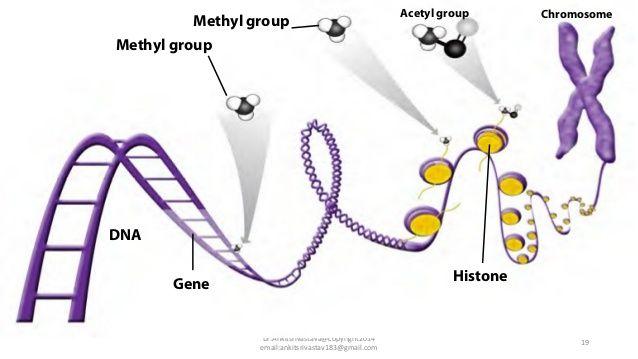 14 12 14 Methyl group Acetyl group Chromosome DrAnkitsrivastava - new blueprint gene expression