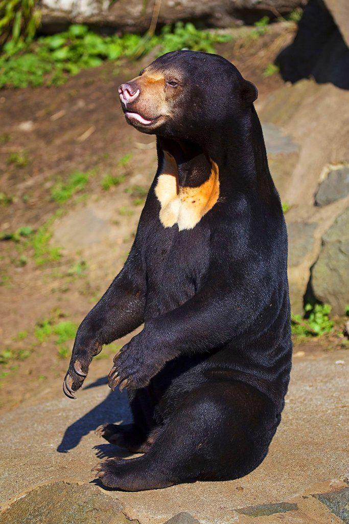 Sun Bear On Fotopedia Animals Beautiful Malayan Sun Bear Animals Wild