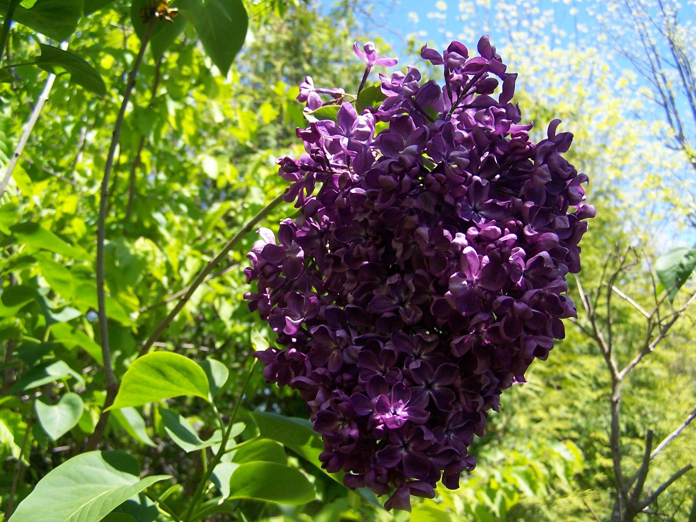 Pocohontas The Darkest Purple Lilac And Very Early Purple Lilac Syringa Vulgaris Lilac