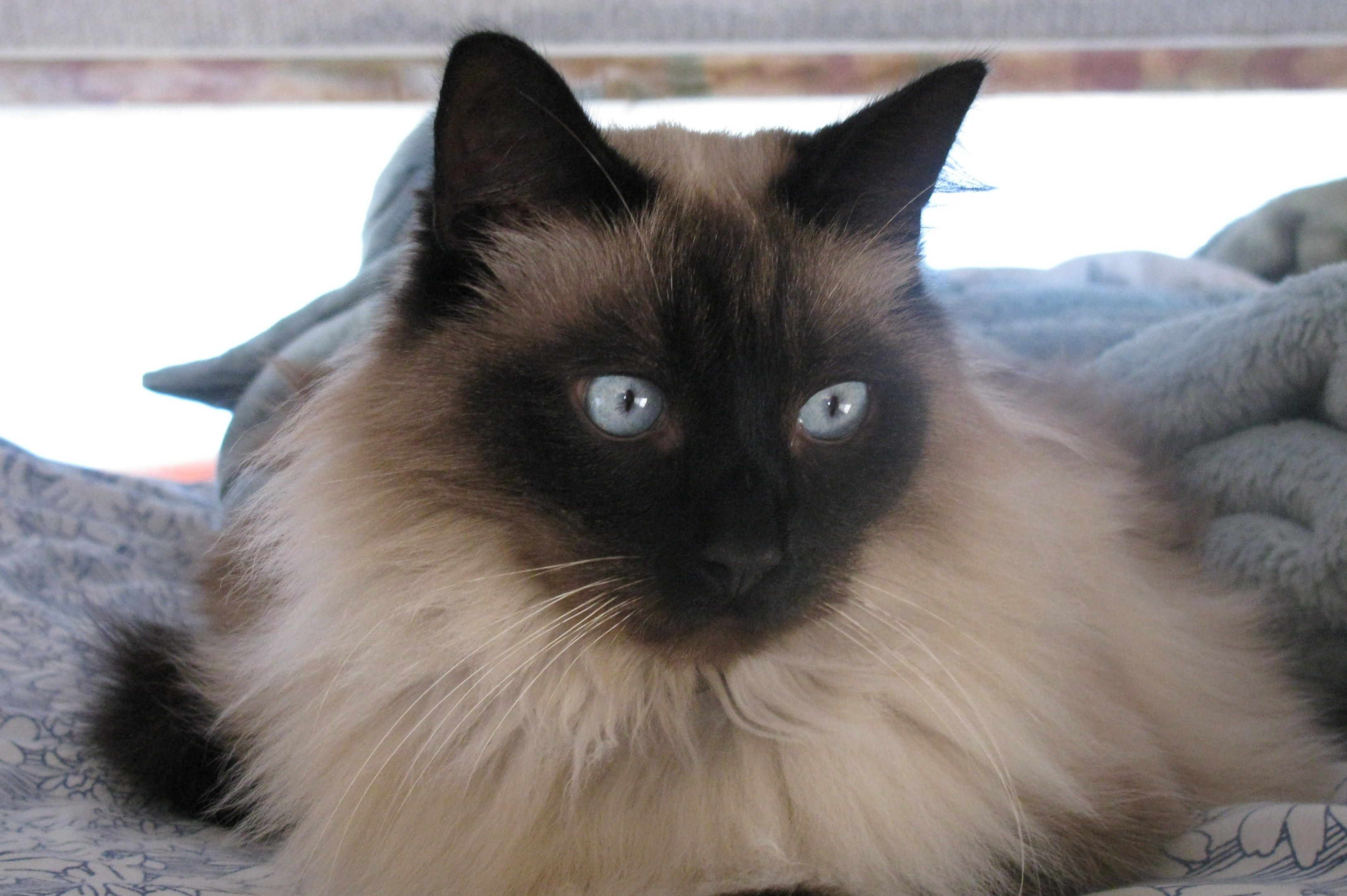Siamese Hypoallergenic Cats Balinese Cat Gorgeous Cats Cat Breeds
