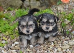 Stunning Morkie Boys And Girls Puppies For Sale Maltese Puppies