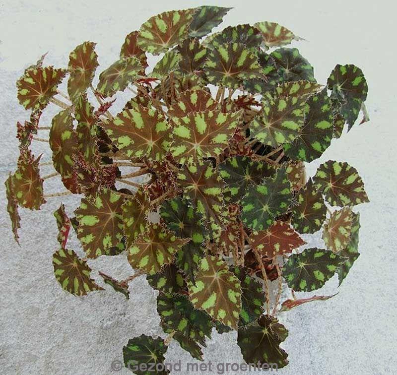 Begonia Boweri Groep Ev Icinde Bitki Bakimi Cicek Bitki