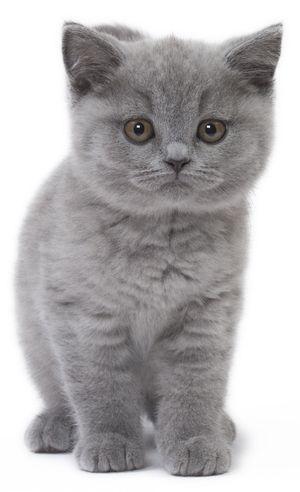 Kitten Kitten British Shorthair Mit Bildern Katzen Baby