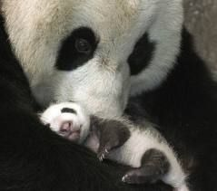Google Image Result for http://cutearoo.com/wp-content/uploads/2012/04/Panda.jpg
