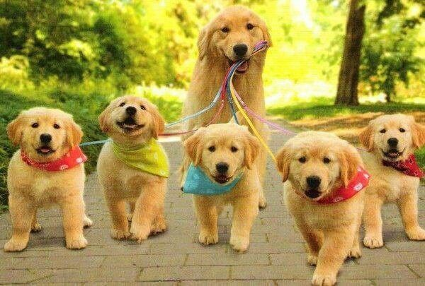Mother Golden Retriever Taking Her Puppies For A Walk Pets