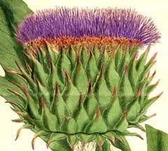 Cynara cardunculus, Artichoke Thistle, Cardoon. Protection, male and female aspects combined, make good wands when dried. All parts edible.