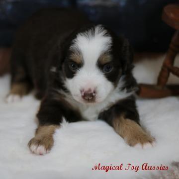Miniature Australian Shepherd Puppy For Sale In Byron Ny Adn