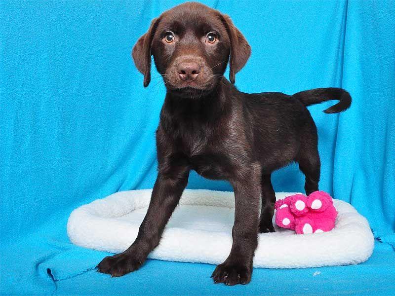 Labrador Retriever Female With Images Labrador Retriever Puppies Happy Puppy