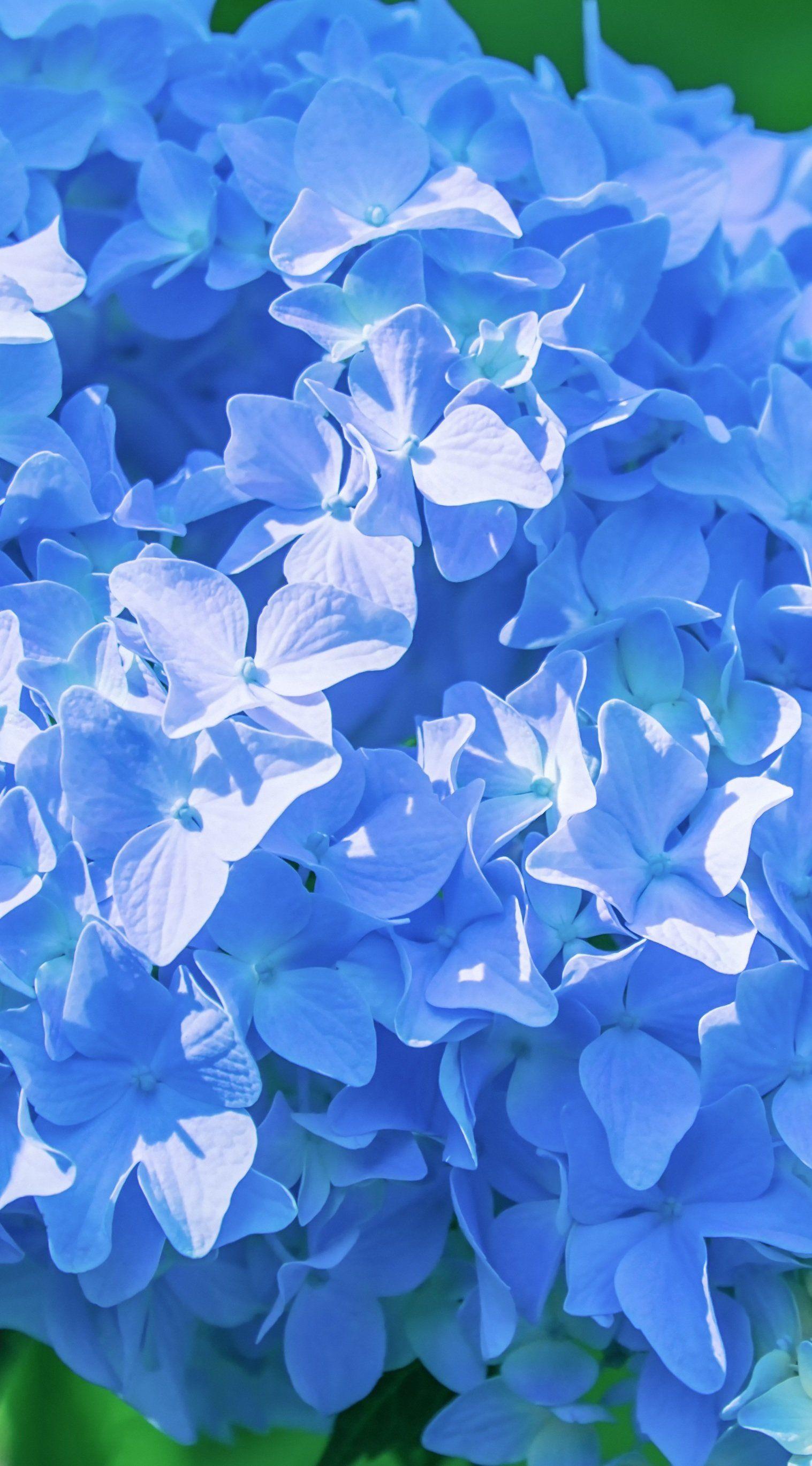 Blue Flowers Flower Background Wallpaper Hydrangea Wallpaper Blue Wallpaper Iphone