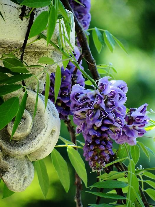 wisteria #gardens #flowers #landscapes