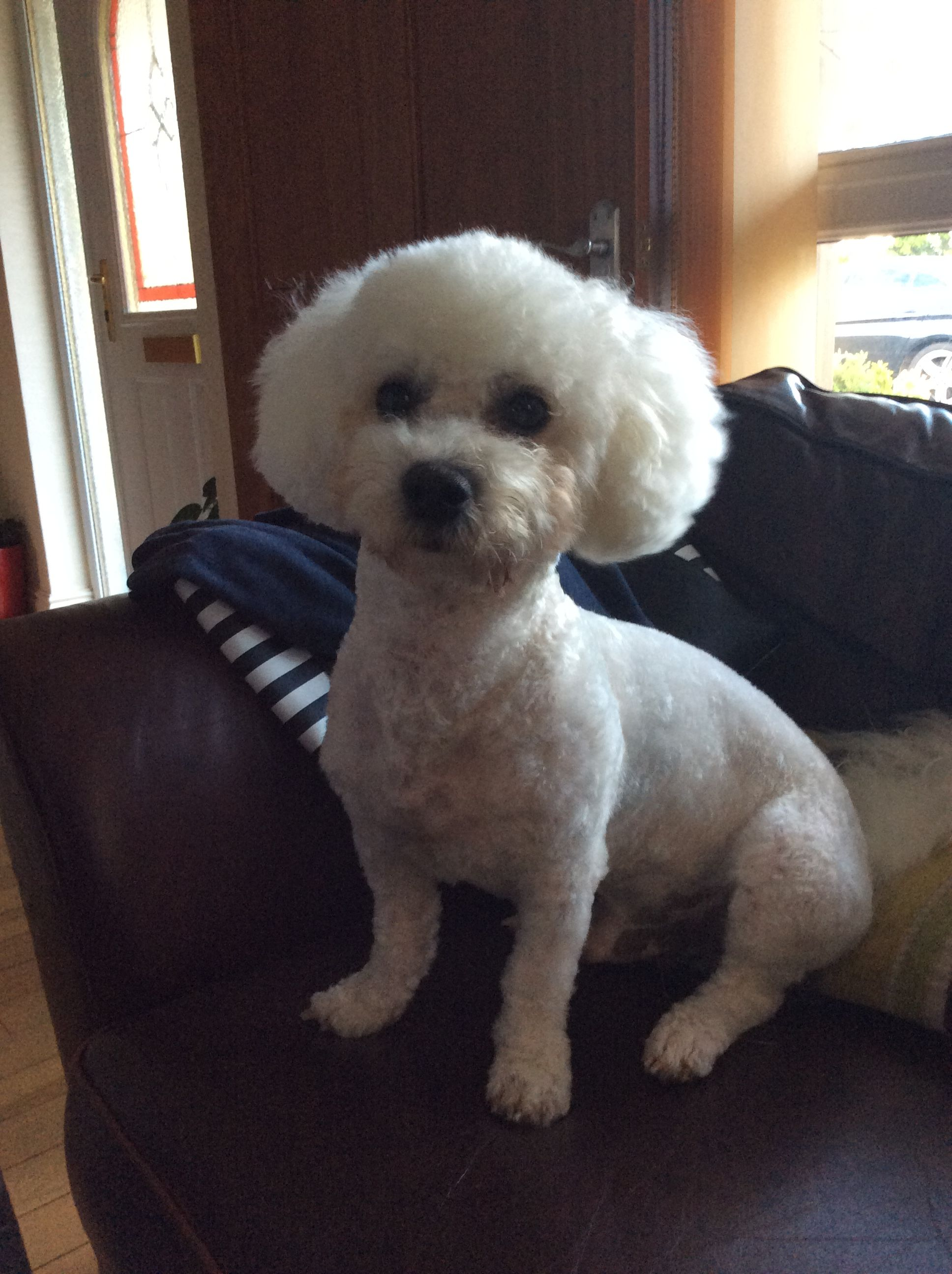 George Had To Get Shaved Beware Bichon Tangles Bichon Animals Beautiful Bichon Frise