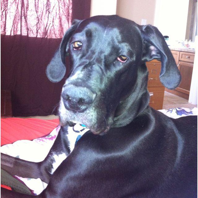Great Dane 3 Like Repin Share Animals Dogs
