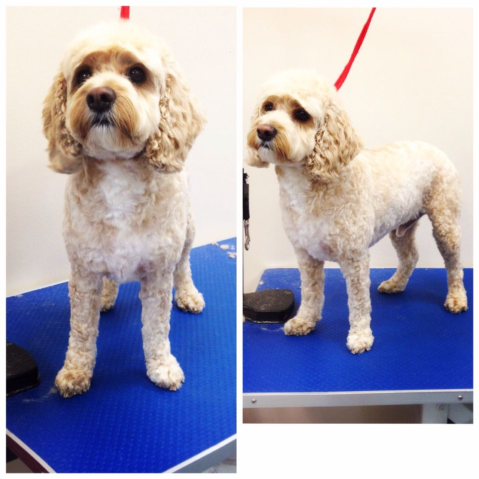 Cockapoo haircuts - Bildergebnis F R Cockapoo Grooming Before And After