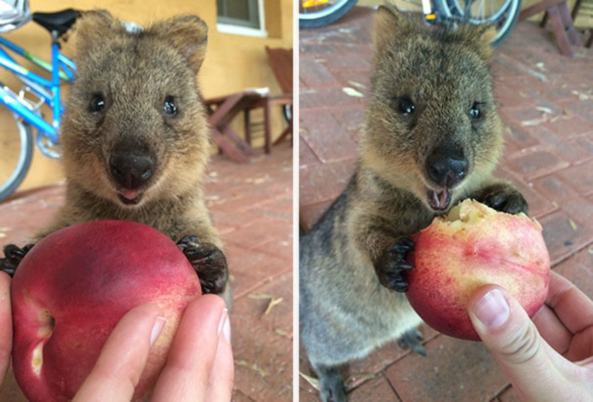 15 Photos That Prove Quokkas Are the Happiest Animals in ...