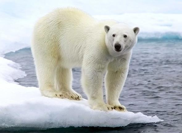 Extrêmement Un ours polaire, dans l'Arctique. L'ours polaire, seul ursidé à  KN09