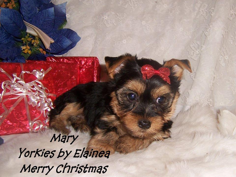 Tiny Yorkie Puppy For Sale In Arkansas Yorkie Puppy Yorkie Puppy For Sale Toy Dog Breeds