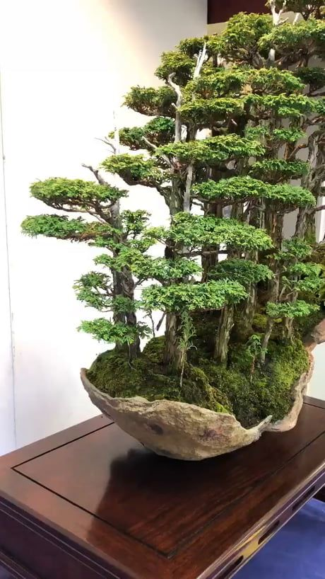 Gorgeous Bonsai trees growing on a mossy rock
