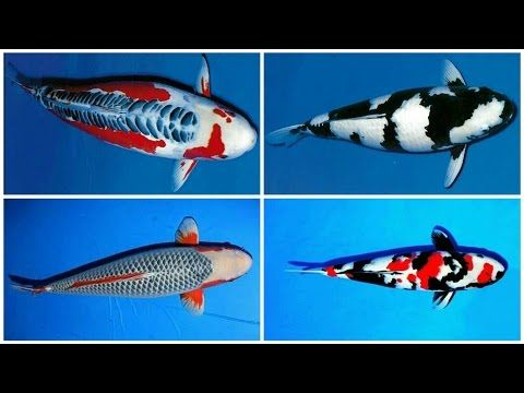 Identifying Male Or Female Koi Carp Explained By Industry Expert Shawn Mchenry From Mystic Koi In This Edition Of Our Koi Discussions If You Koi Fish Koi Fish