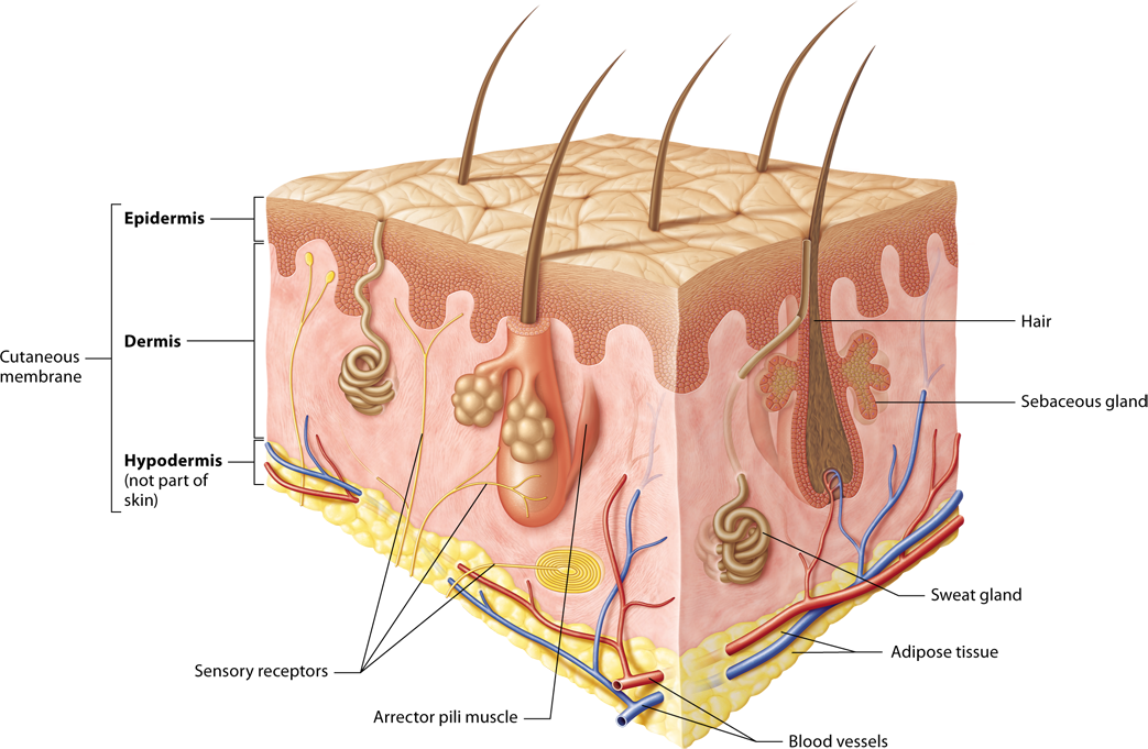 Module 5.1 Overview of the Integumentary System | Anatomy | Pinterest