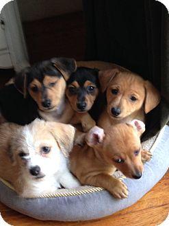 Sacramento Ca Dachshund Maltese Mix Meet Ellies Puppies A