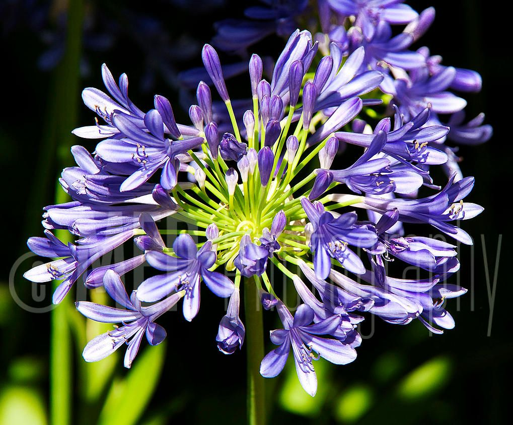 Mep photography agapanthus lily of the nile in the spanish sun mep photography agapanthus lily of the nile in the spanish sun izmirmasajfo