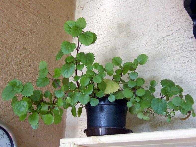 Intriguing Swedish Ivy Houseplants Ivy Plant Indoor Plants Indoor Plants