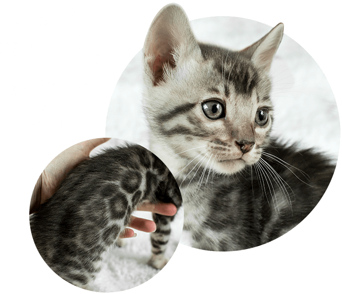 Blue Bengal Cats & Kittens for Sale 🐱 (With images