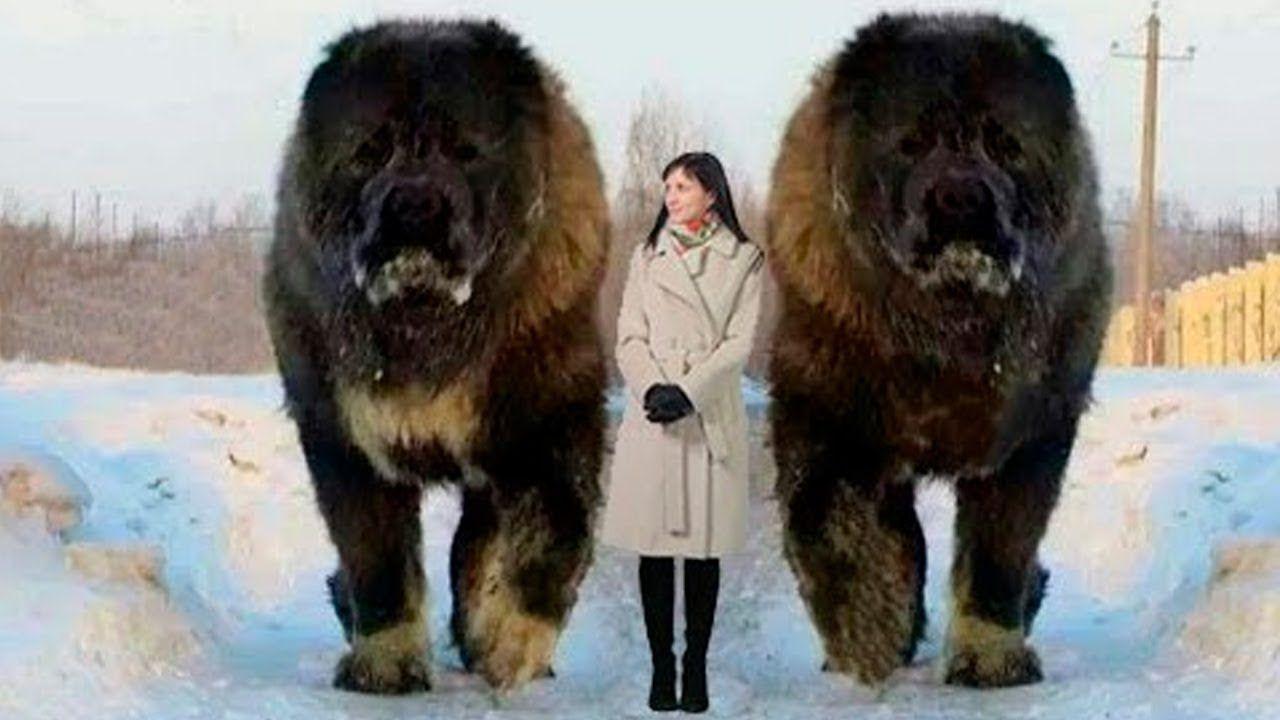 Cool 7 Perros Anormalmente Grandes En El Mundo Perros Raros Razas De Perros Gigantes Perros Enormes