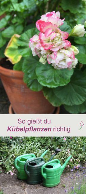 Kübelpflanzen richtig gießen