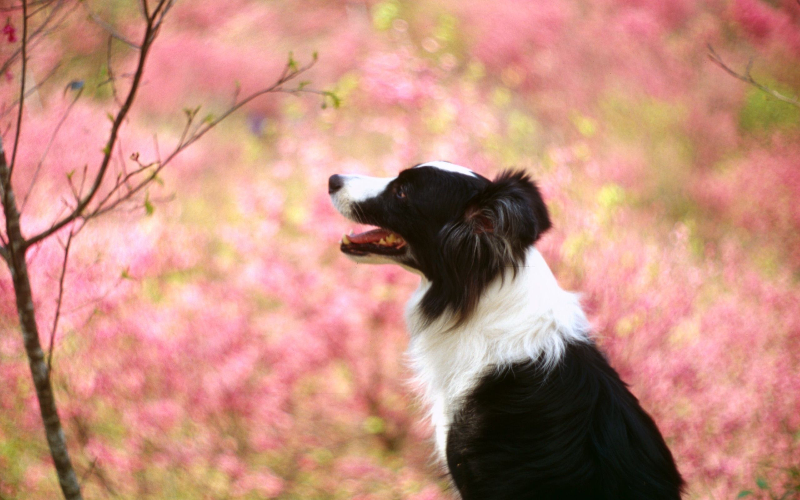 Border Collie Dog Wallpaper HD Download For Desktop
