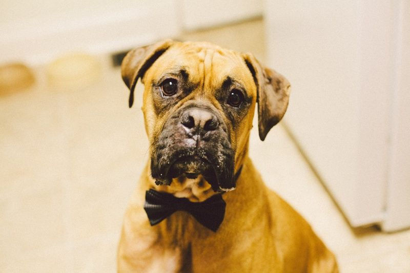 BOXER. Chase Baxter. Boxer Dogs are the cutest. Best dogs ever! www.stevendrayimages.com