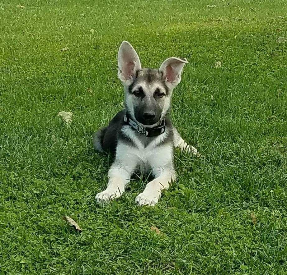 Crosby a purebred german shepherd puppy at 10 weeks old