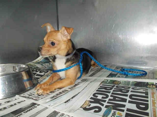 SAFE --- from a hoarding case HOLLY (A1686642)I am a female black and tan Chihuahua - Smooth Coated.  The shelter staff think I am about 3 years old and I weigh 10 pounds.  I was turned in by my owner and I am available for adoption. Miami Dade https://www.facebook.com/urgentdogsofmiami/photos/pb.191859757515102.-2207520000.1426741966./947027891998281/?type=3&theater