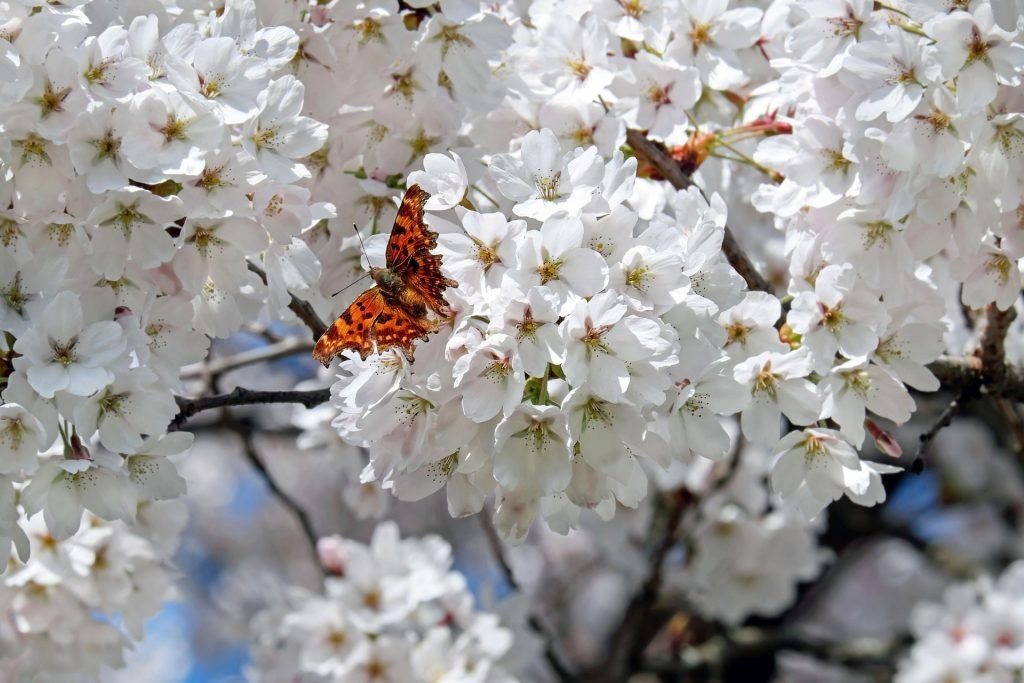 A Local S Guide To The Best Cherry Blossoms In Melbourne Winter Plants Japanese Cherry Tree Winter Garden