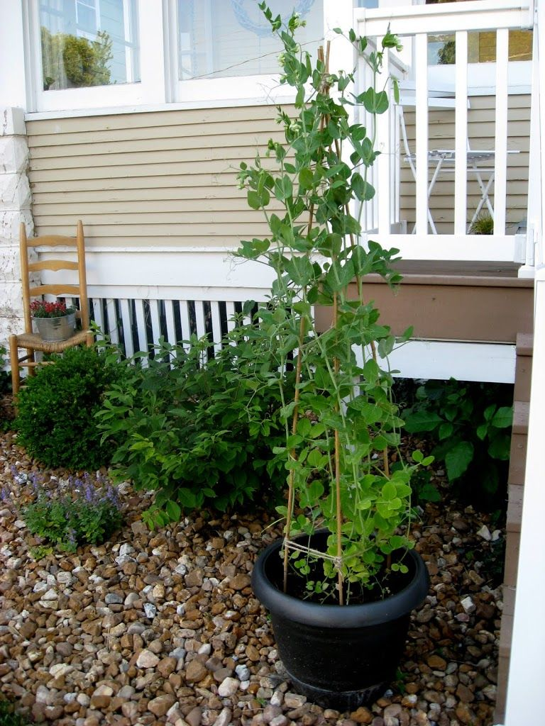 growing sugar snap peas in containers