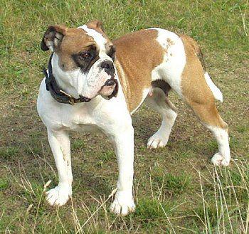 Victorian Bulldog 1 (With images) Victorian bulldog