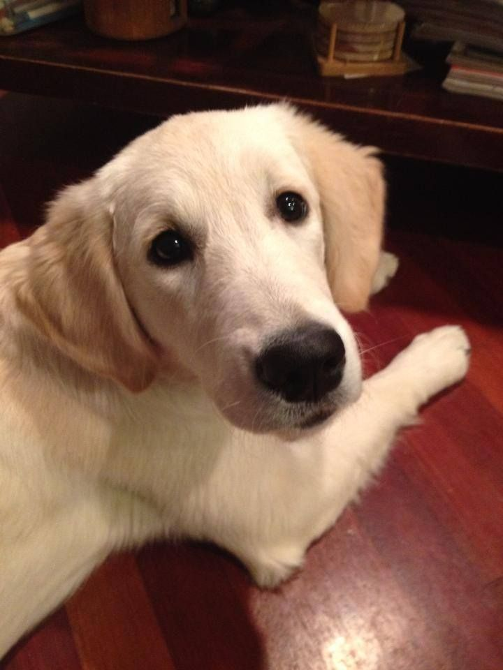 """Lydia Comfort Dog practicing """"look""""! Practicing """"look"""". Can you see me? I'm looking at you!   (Facebook via K9 Parish Comfort Dogs)"""