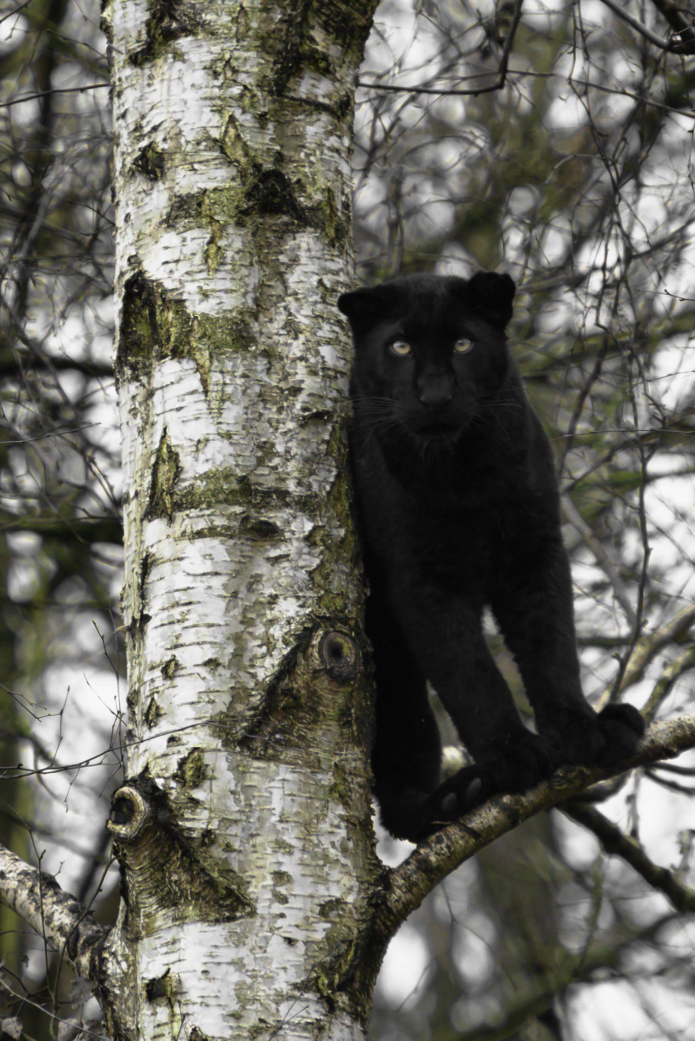 Black Panther Black Panther Panther Cat Animals Beautiful Panther