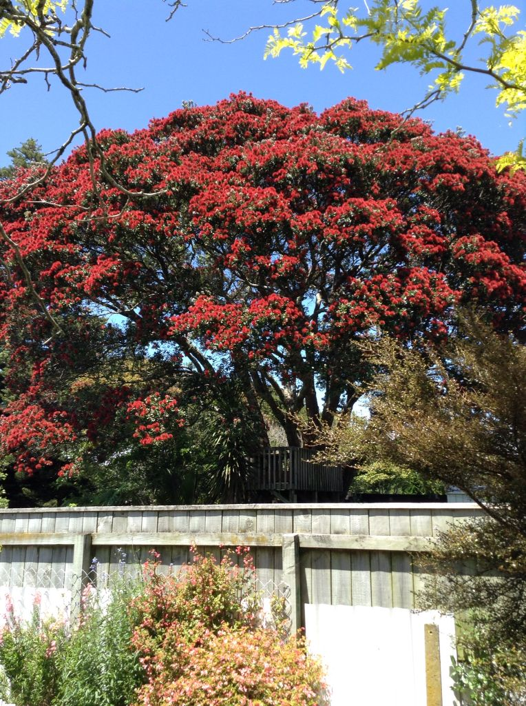 Our Own New Zealand Pohutukawa Blooms From Mid December To Early