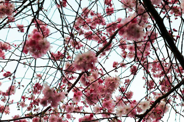 cherry blossoms // nofashionvictims.fi