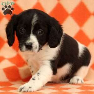 Cavalier King Charles Mix Puppies For Sale Puppies King Charles