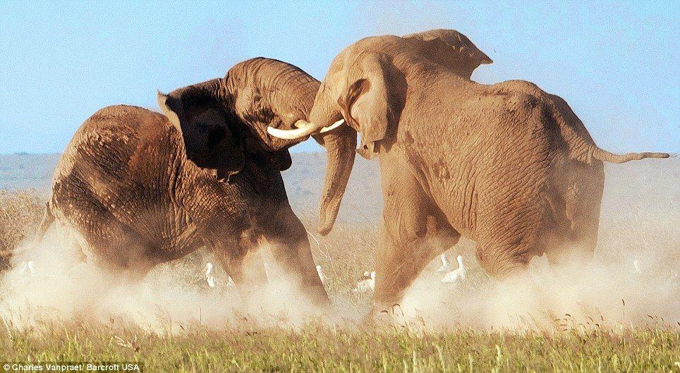 Fighting bull elephant Bull elephant, Animals, Elephant
