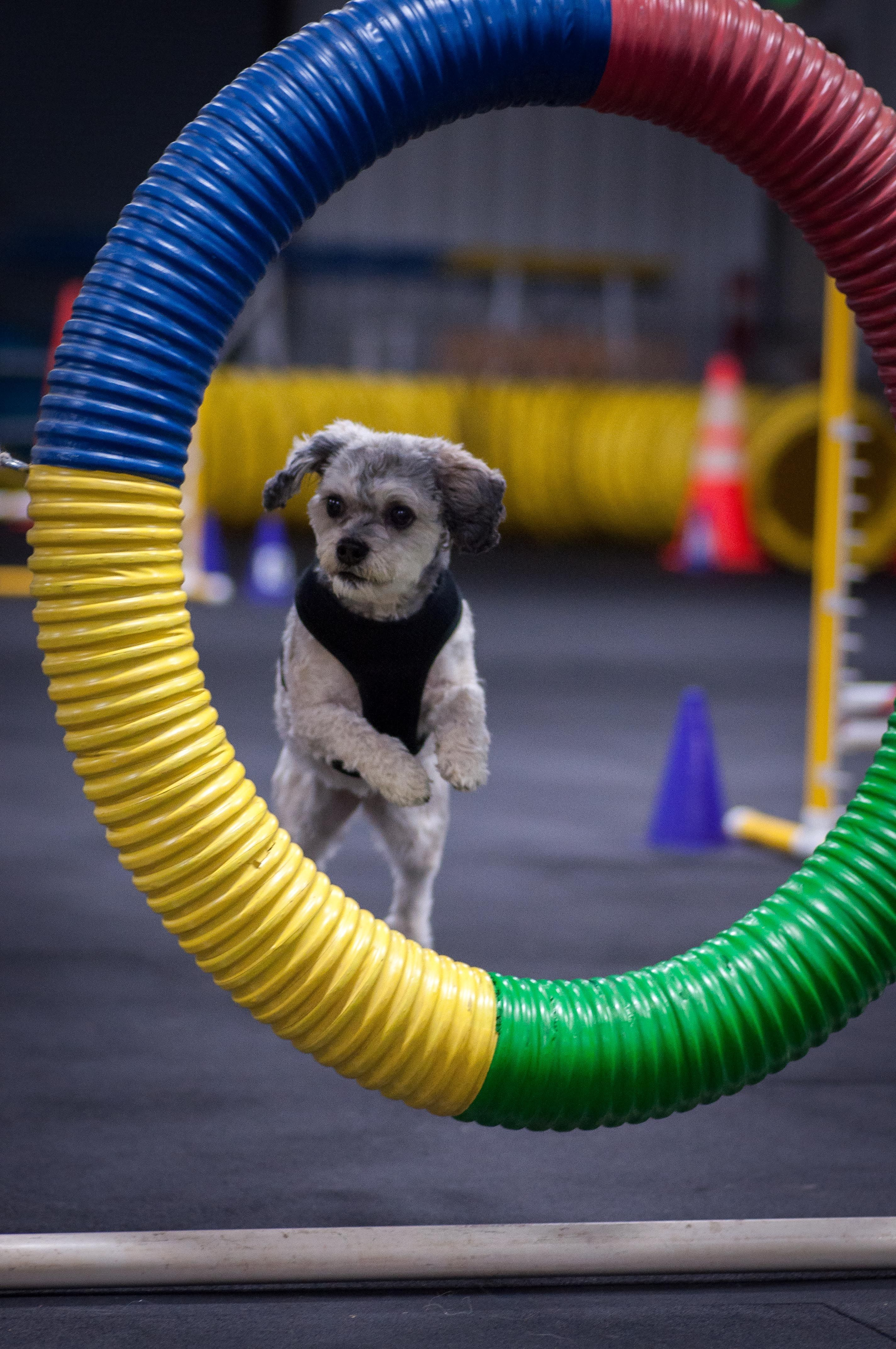 Jumping thru the agility tire