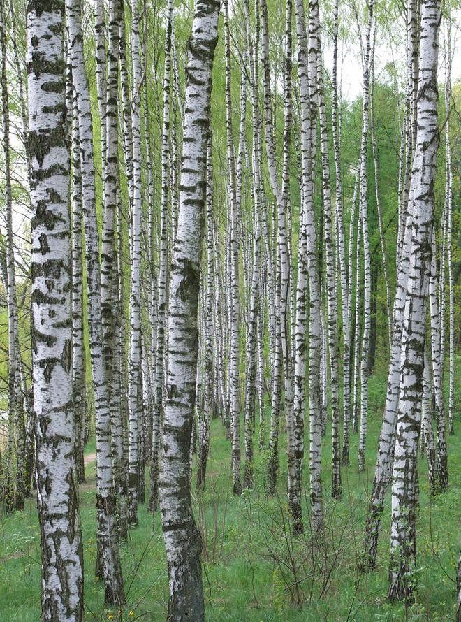 birch forrest (Finland)