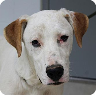 Pictures of Otis a Labrador Retriever/Great Pyrenees Mix for adoption in Hagerstown, MD who needs a loving home.