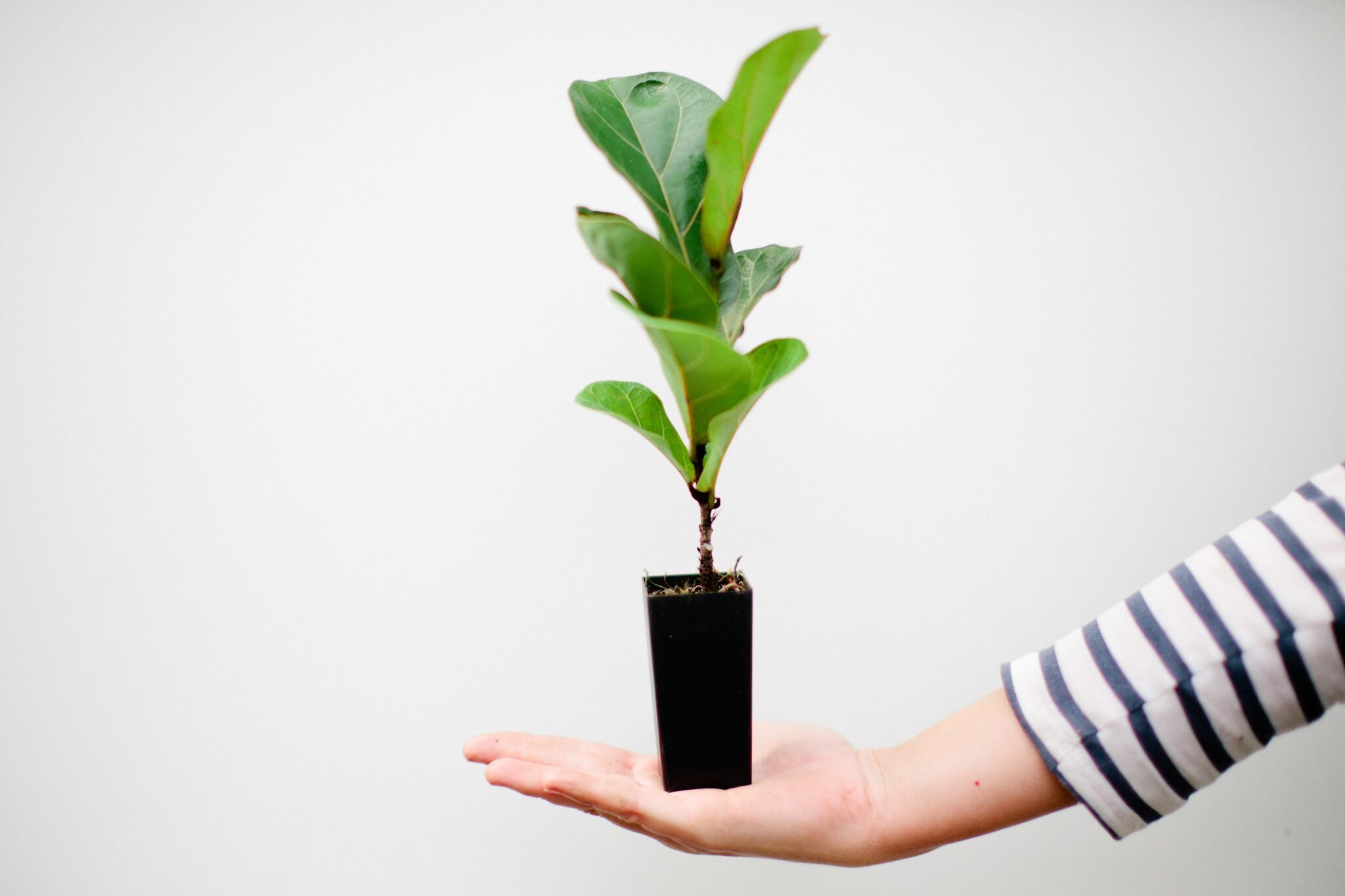 Ficus lyrata bambino easy care plants ficus fiddle