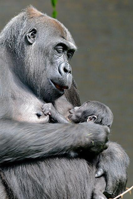 Gorillavrouwtje met baby